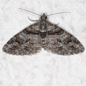 Phrissogonus laticostata at Ainslie, ACT - 28 Sep 2019