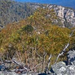 Eucalyptus glaucescens (Tingiringi Gum) at Namadgi National Park - 14 Sep 2019 by Philip