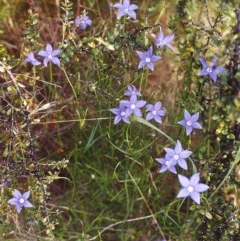Wahlenbergia stricta subsp. stricta (Tall Bluebell) at Conder, ACT - 19 Nov 1999 by michaelb