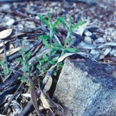 Wahlenbergia stricta subsp. stricta (Tall Bluebell) at Conder, ACT - 9 Sep 2000 by michaelb