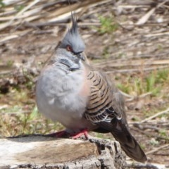 Ocyphaps lophotes (Crested Pigeon) at ANBG - 20 Sep 2019 by Christine