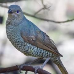 Ptilonorhynchus violaceus (Satin Bowerbird) at Mount Taylor - 30 Sep 2019 by Marthijn