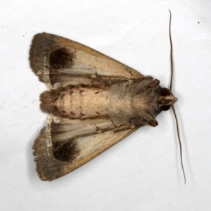 Agrotis infusa at Ainslie, ACT - 1 Oct 2019