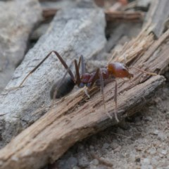 Iridomyrmex purpureus (Meat Ant) at Mount Taylor - 30 Sep 2019 by Marthijn