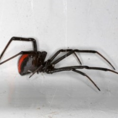 Latrodectus hasselti (Redback Spider) at Ainslie, ACT - 1 Oct 2019 by jbromilow50