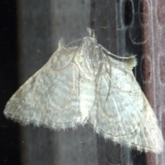 Phrissogonus laticostata at Ainslie, ACT - 30 Sep 2019
