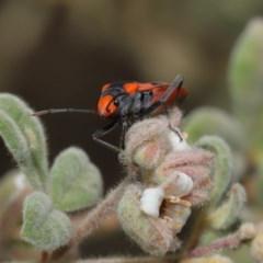 Melanerythrus mactans at ANBG - 26 Sep 2019