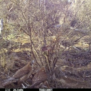 Falco berigora at Namadgi National Park - 18 Sep 2019