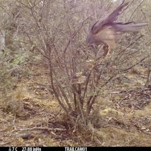 Accipiter fasciatus at Namadgi National Park - 17 Sep 2019
