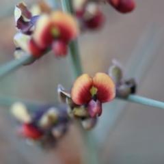 Daviesia genistifolia at Mount Ainslie - 25 Sep 2019