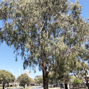 Eucalyptus elata at Curtin, ACT - 4 Oct 2019