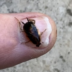 Johnrehnia areolata (TBC) at Berry, NSW - 6 Aug 2019 by Andrejs
