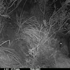 Wallabia bicolor (Swamp Wallaby) at Namadgi National Park - 17 Sep 2019 by DonFletcher