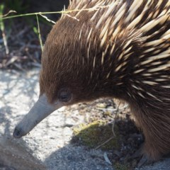 Tachyglossus aculeatus (Short-beaked Echidna) at Murramarang National Park - 2 Oct 2019 by David