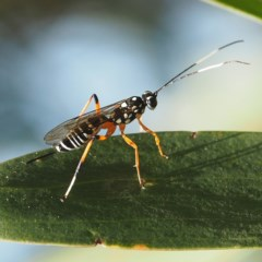 ICHNEUMONIDAE (Unidentified Ichneumon Wasp) at Murramarang National Park - 2 Oct 2019 by David