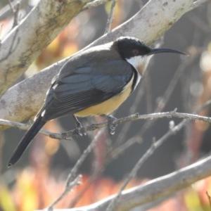 Acanthorhynchus tenuirostris at Berry, NSW - 10 Sep 2019