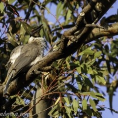 Philemon corniculatus (Noisy Friarbird) at Red Hill Nature Reserve - 20 Sep 2019 by BIrdsinCanberra