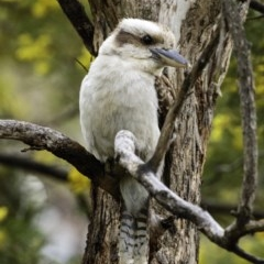 Dacelo novaeguineae (Laughing Kookaburra) at Red Hill Nature Reserve - 20 Sep 2019 by BIrdsinCanberra