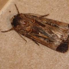 Agrotis munda (Brown Cutworm) at Hughes, ACT - 2 Oct 2019 by LisaH