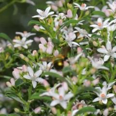 Xylocopa aeratus (Metallic Green Carpenter Bee) at ANBG - 3 Oct 2019 by TimL