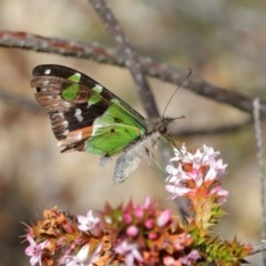 Graphium macleayanum (Macleay's Swallowtail) at ANBG - 3 Oct 2019 by TimL