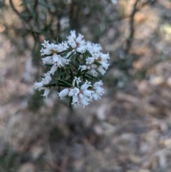 Lissanthe strigosa subsp. subulata (Peach Heath) at - 2 Oct 2019 by Margot