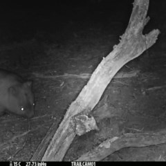 Vombatus ursinus (Wombat) at Namadgi National Park - 20 Sep 2019 by DonFletcher