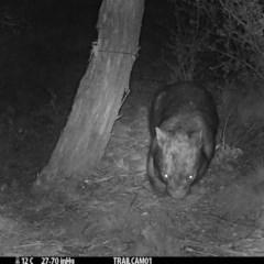 Vombatus ursinus (Wombat) at Namadgi National Park - 13 Sep 2019 by DonFletcher
