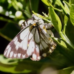 Belenois java (Caper White) at Hughes Grassy Woodland - 4 Oct 2019 by LisaH