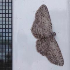 Phelotis cognata (Long-fringed Bark Moth) at Aranda, ACT - 4 Oct 2019 by KMcCue