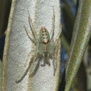 Araneus talipedatus at Kambah, ACT - 28 Sep 2019
