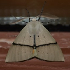 Gastrophora henricaria (Fallen-bark Looper, Beautiful Leaf Moth) at Wamboin, NSW - 12 Nov 2018 by natureguy