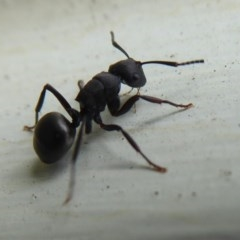 Polyrhachis sp. (genus) (A spiny ant) at Flynn, ACT - 4 Oct 2019 by Christine