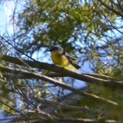 Eopsaltria australis (Eastern Yellow Robin) at Wamboin, NSW - 13 Jul 2019 by natureguy