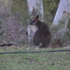 Wallabia bicolor (Swamp Wallaby) at Wamboin, NSW - 21 Jul 2019 by natureguy