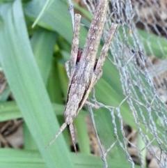 Coryphistes ruricola (Bark grasshopper) at Aranda, ACT - 5 Oct 2019 by KMcCue