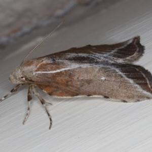 Arachnographa micrastrella at Ainslie, ACT - 4 Oct 2019
