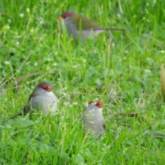 Neochmia temporalis (Red-browed Finch) at Berry, NSW - 26 Jul 2019 by Andrejs