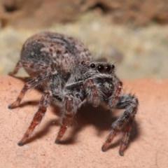 Servaea sp. (genus) (Unidentified Servaea jumping spider) at Evatt, ACT - 4 Oct 2019 by TimL