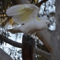 Cacatua galerita (Sulphur-crested Cockatoo) at Wamboin, NSW - 21 Jul 2019 by natureguy