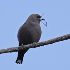Artamus cyanopterus (Dusky Woodswallow) at Kama - 5 Oct 2019 by Marthijn