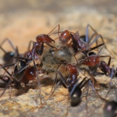 Iridomyrmex purpureus (Meat Ant) at ANBG - 3 Oct 2019 by TimL
