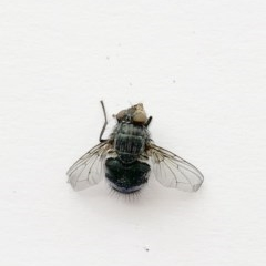 Calliphoridae (family) (Unidentified blowfly) at Hughes Garran Woodland - 6 Oct 2019 by ruthkerruish