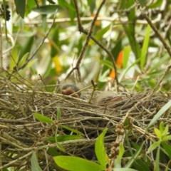 Cracticus torquatus (Grey Butcherbird) at Berry, NSW - 6 Oct 2019 by Andrejs