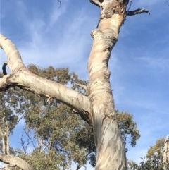 Cacatua galerita (Sulphur-crested Cockatoo) at Red Hill Nature Reserve - 27 Sep 2019 by The_happy_wanderer