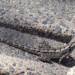 Amphibolurus muricatus (Jacky Lizard) at Acton, ACT - 30 Sep 2019 by JackyF