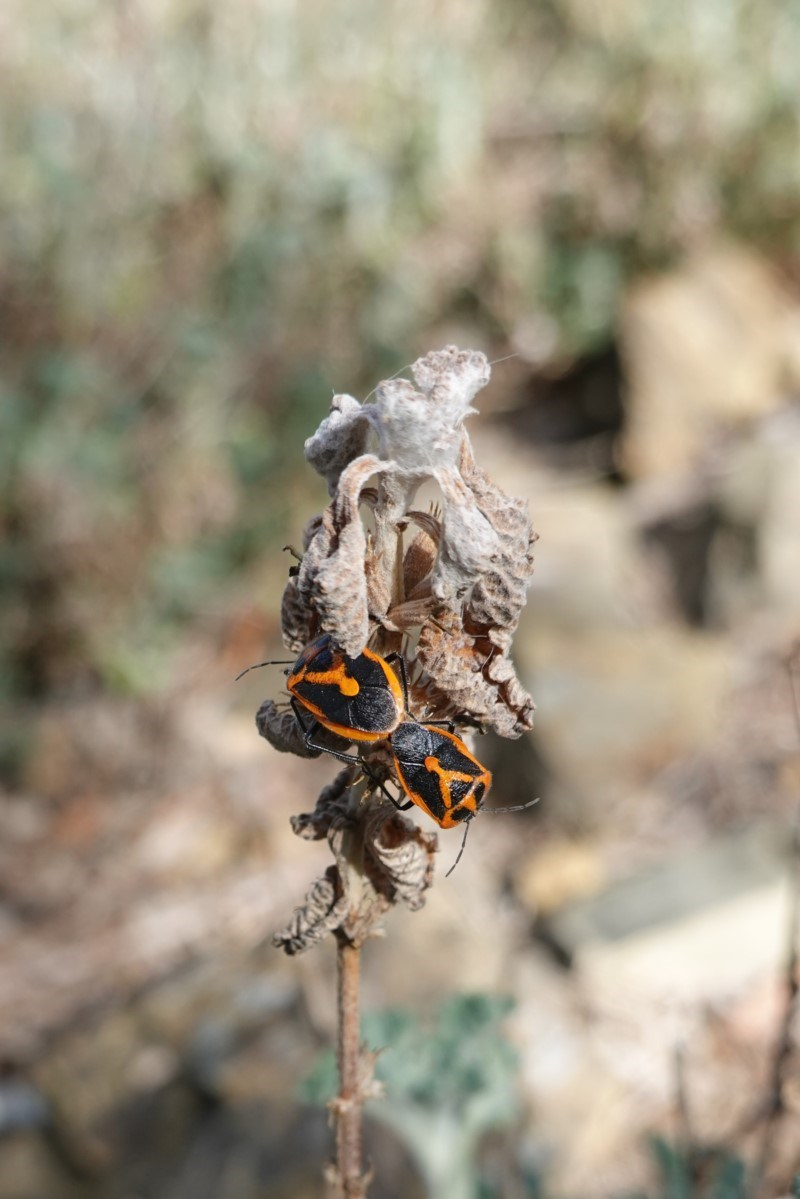 Agonoscelis rutila at Red Hill Nature Reserve - 6 Oct 2019