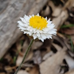 Leucochrysum albicans subsp. albicans (Hoary Sunray) at Majura, ACT - 6 Oct 2019 by AaronClausen