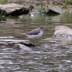Actitis hypoleucos (Common Sandpiper) at Isobella Pond - 6 Oct 2019 by rawshorty
