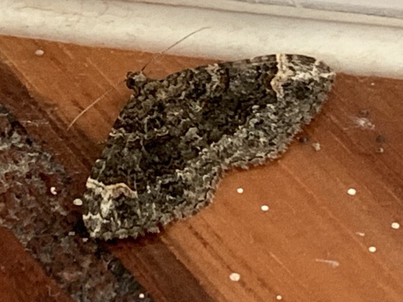 Epyaxa sodaliata at Berry, NSW - 7 Oct 2019